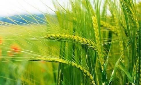 Buğdaya Okunan Ya Fettah Ya Rezzak Esmaları ile Rızk Celbi