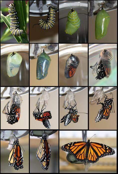 Kelebek ve yaşam döngüsü