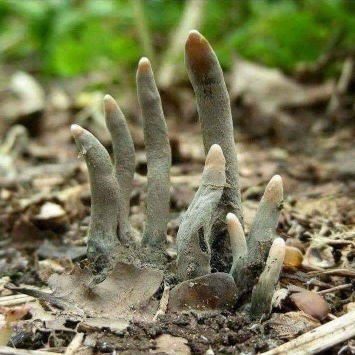 Ölü adamın parlakları - Death Mans Fingers