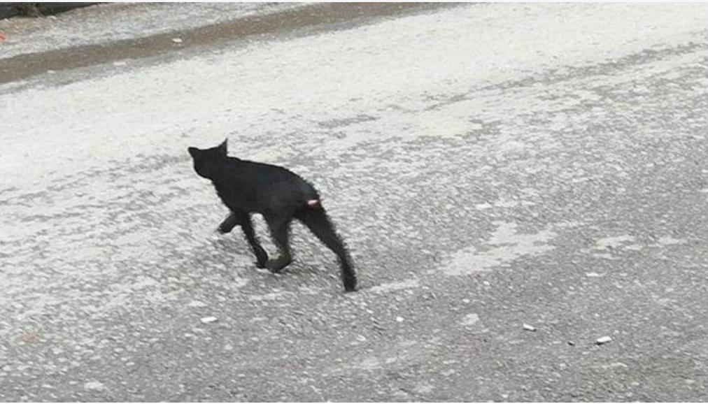 Kuyruğu kesik kediler