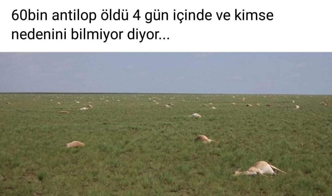 4 gün içinde 60 bin antilop öldü